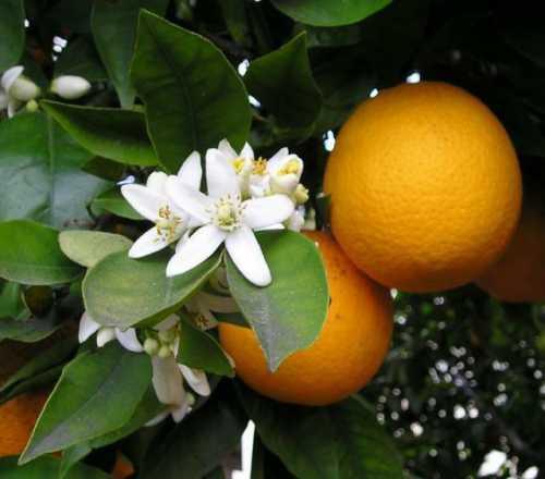 апельсины при беременности: польза, противопоказания